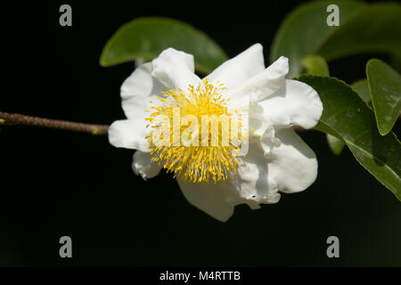 Yellow flower tree names choice image flower decoration ideas white and yellow flower name is fried egg tree or oncoba spinosa white and yellow flower mightylinksfo Gallery