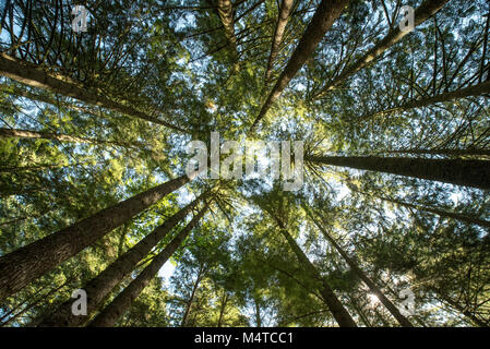 Looking up at the tops of coniferous trees in a forest against the sky in summer. - Stock Photo