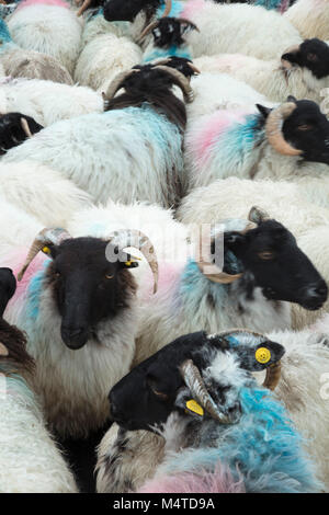 Herd of Mayo Blackface sheep, Connemara, County Galway, Ireland. - Stock Photo
