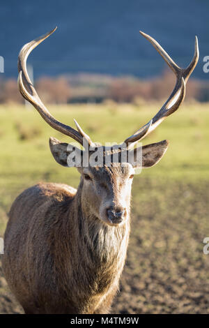 Scotlands magnificent deer with the amazing antlers. They are slightly smaller than their European cousins having - Stock Photo