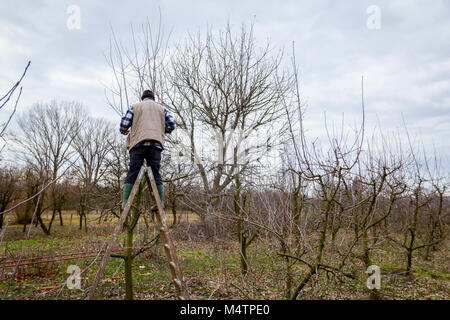 Gardener is climbed on ladders and he cutting branches, pruning fruit trees with long shears in the orchard. - Stock Photo