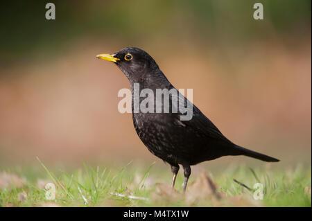 copyspacemale Blackbird, Eurasian Blackbird or Common Blackbird, (Turdus merula), on grass searching for worms, - Stock Photo