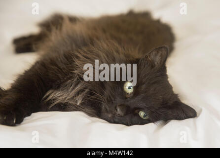 Long haired black cat lying on a white duvet cover on a bed. - Stock Photo