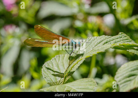 Beautiful Demoiselle - Immature male showing brown wings but no white wing spot - genus Calopteryx - Stock Photo