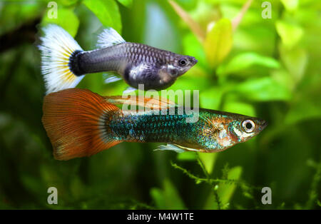 Guppy couple (male bellow), Poecilia reticulata in aquarium. Is one of the world's most widely distributed tropical - Stock Photo