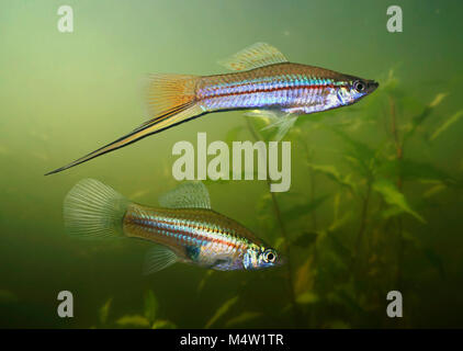 Green swordtail couple (female bellow), Xiphophorus hellerii. The name 'swordtail' is derived from the elongated - Stock Photo