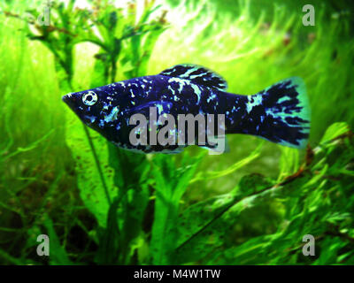 Female Short-finned Molly, Poecilia sphenops. Dalmatian variety. Mollies are strictly American fish, found particularly - Stock Photo