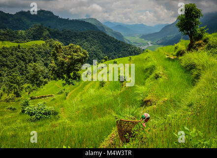 A woman collecting grass to feed livestock on terraced fields in Annapurna Mountains in Nepal. - Stock Photo