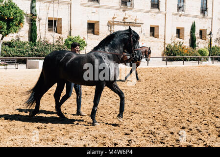 Cordoba, Spain - April 12, 2017: Andalusian horse also known as the Pure Spanish Horse with groom in Historic Royal - Stock Photo