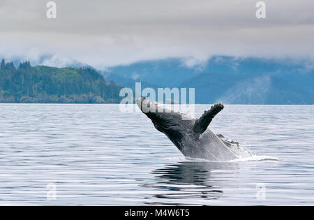 A whale breaching in the alaskan ocean with water splash - Stock Photo