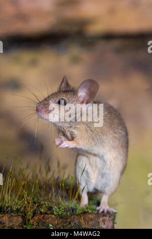 Mouse mus musculus - Stock Photo