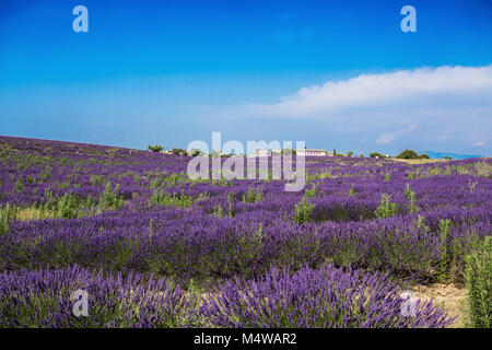 VALENSOLE, FRANCE, JULY, 03, 2015 - Lavender fields and factories near the village of Valensole, Provence, France. - Stock Photo