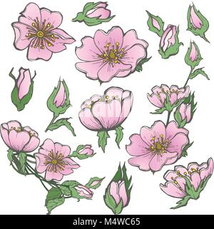 Wild dog rose set flowers with buds drawing vector clipart on white background for scrapbooking - Stock Photo