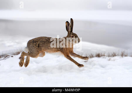 Hare running in the winter field - Stock Photo