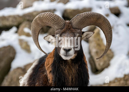 Winter portrait of big mouflon animal. Mouflon, Ovis orientalis, forest horned animal in nature habitat - Stock Photo
