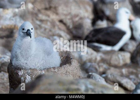 Falkland Islands, New Island. Black-browed albatross chick on nest (WILD: Thalassarche melanophris) - Stock Photo