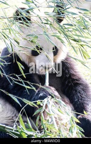 Madrid, Spain. 18th February, 2018. A giant panda (Ailuropoda Melanoleuca) rests at Madrid Zoo on February 18, 2018 - Stock Photo