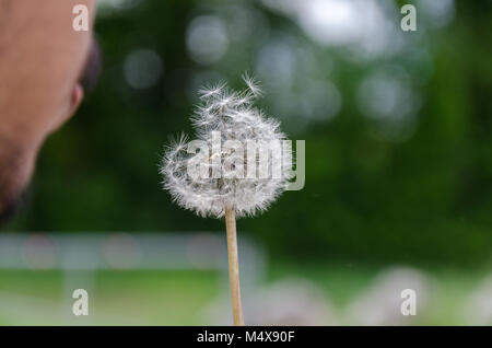 Close-up of person blowing dandelion seed head. - Stock Photo