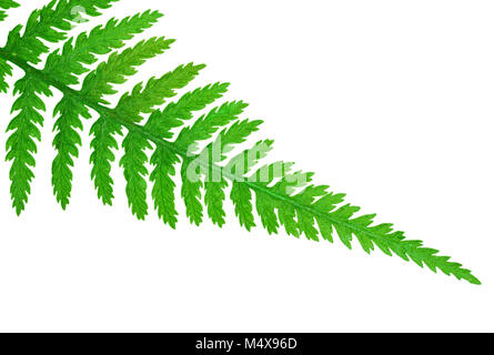 Tip of a fern leaf, isolated on white background - Stock Photo
