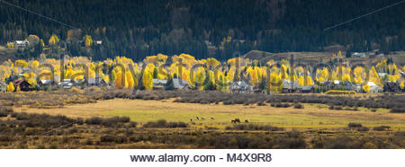 Cottonwood trees in full autumn splendor add lots of color to the Crested Butte, Colorado landscape. - Stock Photo