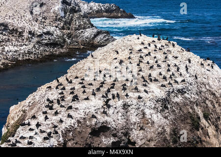 A colony of Brandt's Cormorants, Phalacrocorax penicillatus, settled on Bird Island in the Point Lobos State Reserve, - Stock Photo