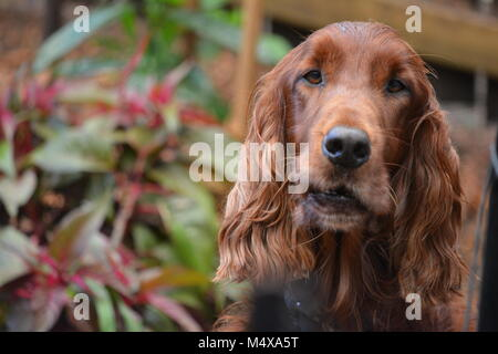 Close-up of Gorgeous Red Irish Setter dog in garden looking hopeful. - Stock Photo
