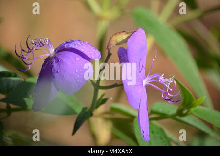 Close up of Tibouchina Alstonville's stunning purple flowers, Northern NSW Australia - Stock Photo