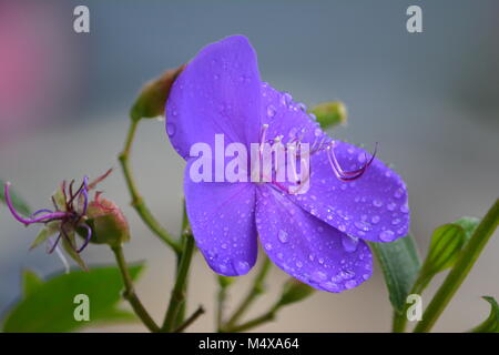 Close up of Tibouchina Alstonville, stunning purple flower, Australia - Stock Photo