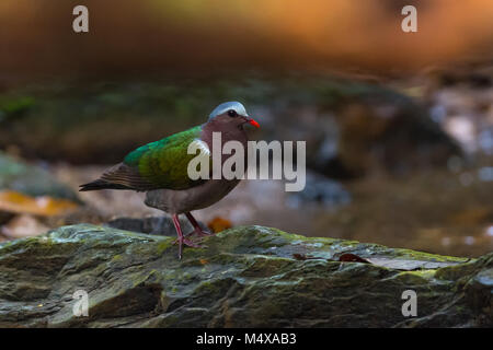 The common emerald dove, Asian emerald dove, or grey-capped emerald dove (Chalcophaps indica) is a pigeon which - Stock Photo