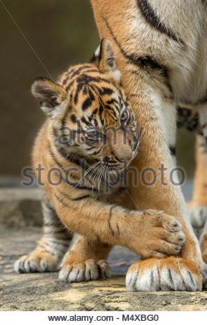 Sumatran Tiger Cub, Jacksonville Zoo, Florida.  Male(s), born November 17, 2017. Eighteen Weeks old. - Stock Photo