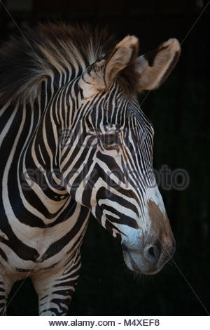 Close-up of Grevy zebra head in darkness - Stock Photo