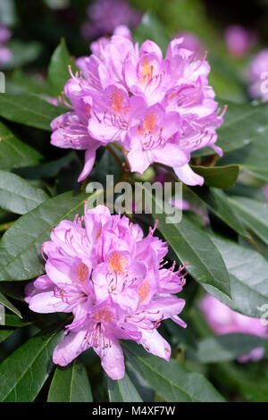 Close-up of blooms of Rhododendron ponticum, also called common rhododendron or pontic rhododendron - Stock Photo