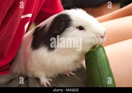 Black and white pet guinea pig sitting on a child's lap eating a large cucumber. - Stock Photo