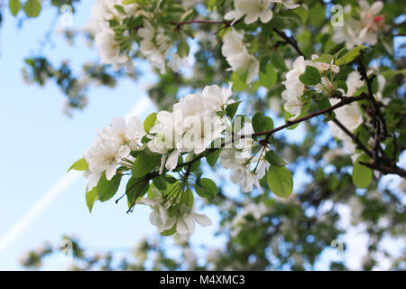 flowering apple tree with bright white flowers - Stock Photo