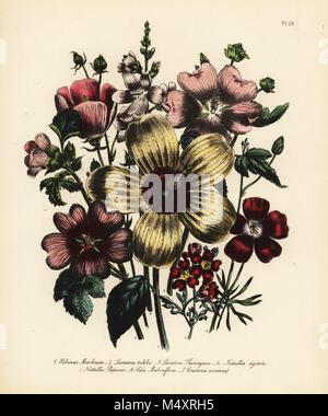 Musk hibiscus, Hibiscus moschatus, three-lobed lavatera, Lavatera triloba, Thuringian latavera, Lavatera thuringiaca, - Stock Photo
