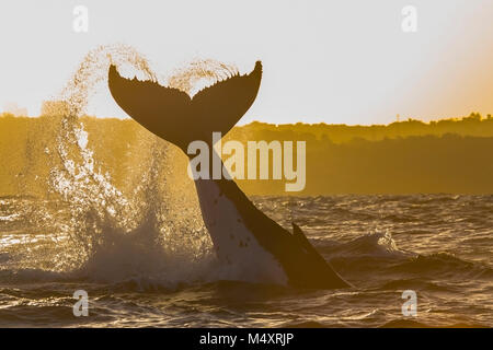 Humpback whale tail slap water trails forms a shape of a heart, Sydney, Australia - Stock Photo
