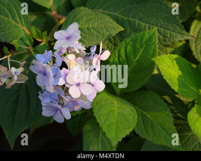Hydrangea serrata is a flower  Native to mountainous regions of China and Korea and Japan. Common names are mountain - Stock Photo
