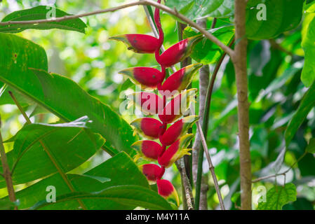 Hanging Lobster Claw, Heliconia rostrata, Flower Isolated - Stock Photo