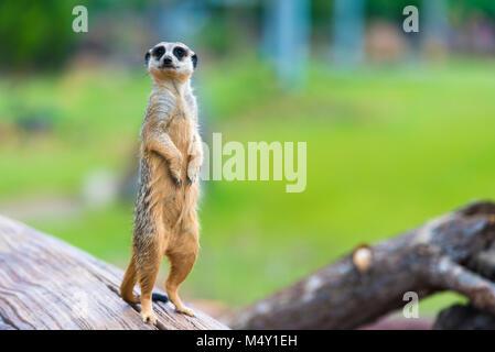 Portrait of Meerkat Suricata suricatta, African native animal, small carnivore belonging to the mongoose family - Stock Photo