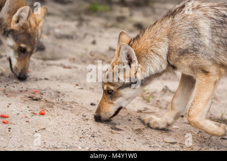 Young european grey wolf puppy in artificial zoo environment. - Stock Photo