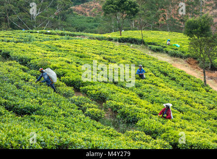 Tea plantation in Sri Lanka - Stock Photo