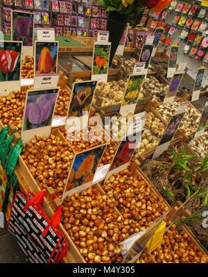 Tulip bulbs for sale - Stock Photo