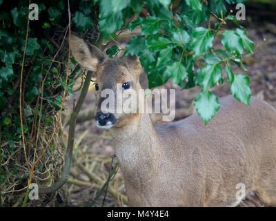 Portrait of Roe Deer Capreolus capreolus - Stock Photo