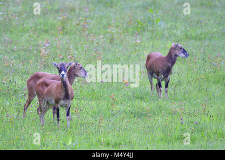 European mouflon - Stock Photo