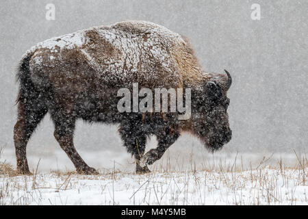 Male American bison (Bison bison) in prairie walking through a heavy snowstorm, Neal Smith National Wildlife Refuge, - Stock Photo