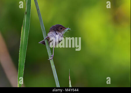 An Australian Female Red-backed Fairy-wren with an Insect in its mouth - Stock Photo