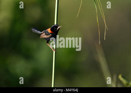An Australian Male Red-backed Fairy-wren with an Insect in its mouth - Stock Photo