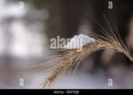 detailed closeup of a single snow covered feathery top of prairie grass in winter - Stock Photo