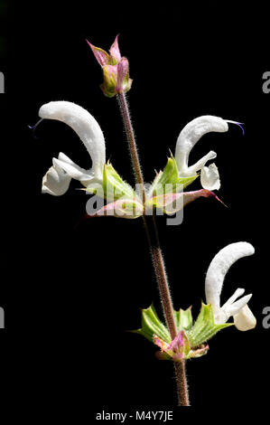 Clary sage is an herb. The flowers and leaves are used for upset stomach and other digestive disorders, and to remove - Stock Photo