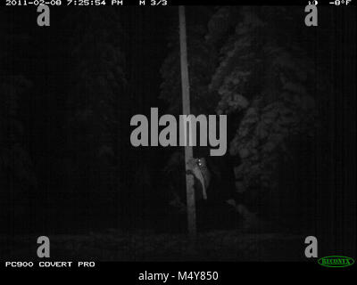 This remote trail camera picture is of a wolverine (Gulo gulo) who has stolen our bait (a deer leg) from a hair - Stock Photo